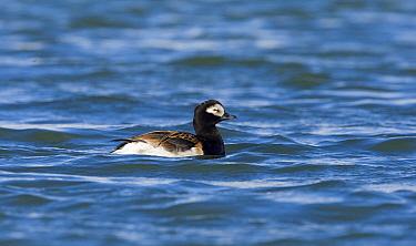 Long-tailed Duck (Clangula hyemalis) drake swimming, Svalbard, Norway  -  Otto Plantema/ Buiten-beeld