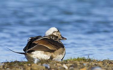 Long-tailed Duck (Clangula hyemalis) drake resting, Svalbard, Norway  -  Otto Plantema/ Buiten-beeld