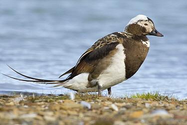 Long-tailed Duck (Clangula hyemalis) drake, Svalbard, Arctic Ocean, Norway  -  Otto Plantema/ Buiten-beeld