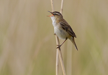 Sedge Warbler (Acrocephalus schoenobaenus) singing, Arkemheen, Gelderland, Netherlands  -  Jan Sleurink/ NiS