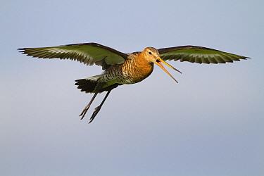 Black-tailed Godwit (Limosa limosa) flying, Arkemheen, Gelderland, Netherlands  -  Jan Sleurink/ NiS