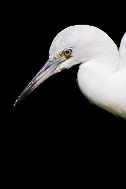 Little Blue Heron (Egretta caerulea) white morph, Florida  -  Marcel van Kammen/ NiS