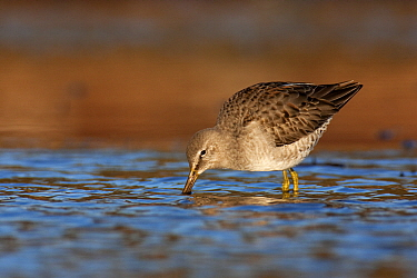 Long-billed Dowitcher (Limnodromus scolopaceus) foraging, Vancouver, British Columbia, Canada  -  Jan Wegener/ BIA
