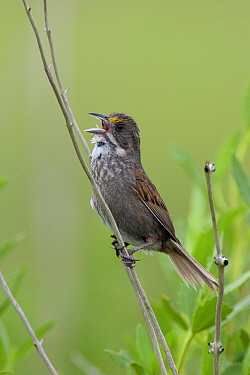 Seaside Sparrow (Ammodramus maritimus) male singing in salt marsh, Winnie, Texas  -  Jan Wegener/ BIA