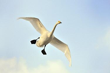 Whooper Swan (Cygnus cygnus) flying, Lake Kussharo, Hokkaido, Japan  -  Andre Gilden/ NIS