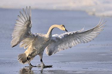 Whooper Swan (Cygnus cygnus) juvenile, Lake Kussharo, Hokkaido, Japan  -  Andre Gilden/ NIS