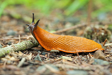 Chocolate Arion (Arion rufus) slug on forest trail, Wahlrod, Germany  -  Bert Pijs/ NIS