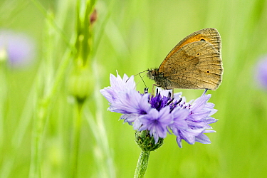 Meadow Brown (Maniola jurtina) butterfly on a Cornflower (Centaurea cyanus), Wahlrod, Germany  -  Bert Pijs/ NIS