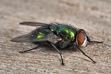 Greenbottle Fly (Lucilia caesar) female, Den Helder, Noord-Holland, Netherlands  -  Bert Pijs/ NIS