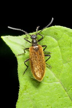 Darkling Beetle (Lagria hirta), Wahlrod, Germany  -  Bert Pijs/ NIS