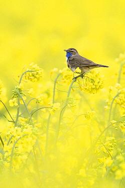 Bluethroat (Luscinia svecica) male singing in an Oil Seed Rape (Brassica napus) field, Groningen, Netherlands  -  Marcel van Kammen/ NiS