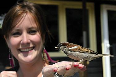 House Sparrow (Passer domesticus) male perched on girl's hand, Giethoorn, Overijssel, Netherlands  -  Philip Friskorn/ NiS