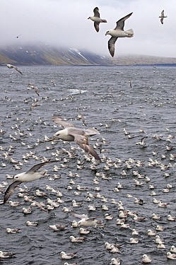 Northern Fulmar (Fulmarus glacialis) flock on the water and flying, Jan Mayen, Norway  -  Jan Vermeer