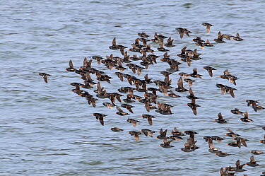 Crested Auklet (Aethia cristatella) flock flying over the water, Bering Sea, Diomede Islands, Russia  -  Jan Vermeer