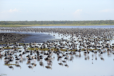 White Stork (Ciconia ciconia) flock resting, Lake Ndutu, Tanzania  -  Jan Vermeer