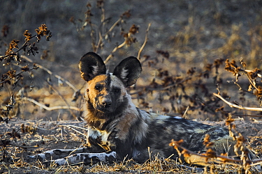 African Wild Dog (Lycaon pictus) resting, Northern Tuli Game Reserve, Botswana  -  Vincent Grafhorst