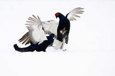Black Grouse (Tetrao tetrix) two males fighting in snow, Oulu, Finland. Sequence 5 of 8.  -  Jan Vermeer