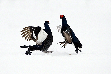 Black Grouse (Tetrao tetrix) two males fighting in snow, Oulu, Finland. Sequence 8 of 8.  -  Jan Vermeer