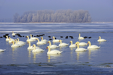 Mute Swan (Cygnus olor) group at a lake in the winter, Veluwemeer, Nunspeet, Gelderland, Netherlands  -  Jan Vermeer