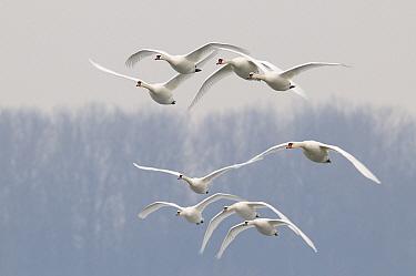 Mute Swan (Cygnus olor) flock flying, Veluwemeer, Nunspeet, Gelderland, Netherlands  -  Jan Vermeer