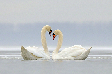 Mute Swan (Cygnus olor) pair on lake in the winter, Veluwemeer, Nunspeet, Gelderland, Netherlands  -  Jan Vermeer