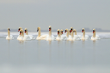 Mute Swan (Cygnus olor) group on a lake in the winter, Veluwemeer, Nunspeet, Gelderland, Netherlands  -  Jan Vermeer