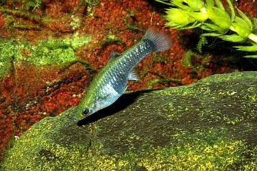 Guppy (Poecilia reticulata) female, Brazil  -  Hans Leijnse/ NiS
