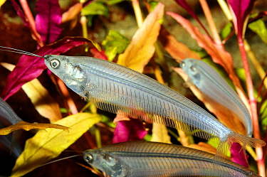 Glass Catfish (Kryptopterus bicirrhis) in aquarium, Africa  -  Hans Leijnse/ NiS