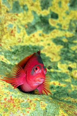 Arc-eye Hawkfish (Paracirrhites arcatus), Indonesia  -  Hans Leijnse/ NiS