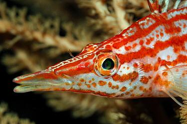 Longnose Hawkfish (Oxycirrhites typus), Indonesia  -  Hans Leijnse/ NiS