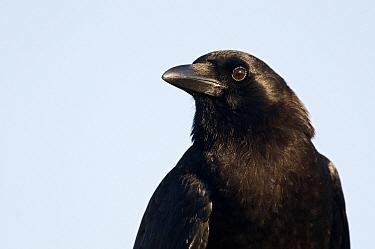 American Crow (Corvus brachyrhynchos), Everglades National Park, Florida  -  Marcel van Kammen/ NiS