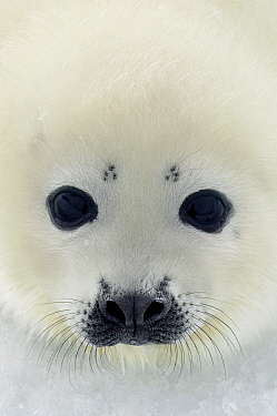 Harp Seal (Phoca groenlandicus) pup, Magdalen Islands, Gulf of Saint Lawrence, Canada  -  Jan Vermeer