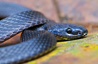 Hallowell's Coffee Snake (Ninia atrata), Andes, Mindo, Pichincha, Ecuador  -  James Christensen