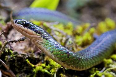 Amazon Ground Snake (Liophis epinephelus), Mindo, Pichincha, Ecuador  -  James Christensen
