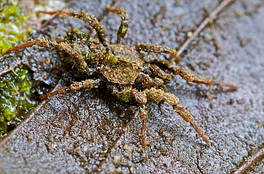Bald-legged Spider (Paratropis sp) wearing a concealing cloak of dirt and algae in which tiny nematodes live, Mindo, Pichincha, Ecuador  -  James Christensen