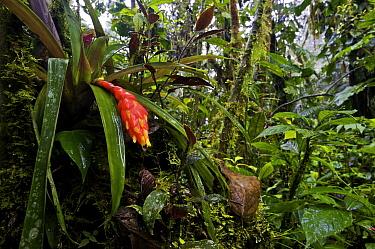 Bromeliad (Guzmania jaramilloi) plant blooming in a cloud forest downpour, Mindo, Pichincha, Ecuador  -  James Christensen
