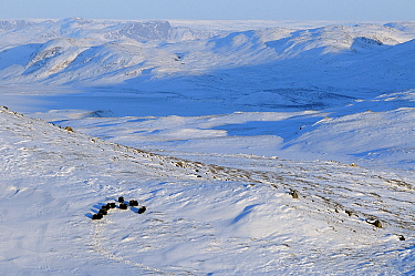 Muskox (Ovibos moschatus) group in snowy landscape, Kangerlussuaq, Sondre, Stromfjord, Greenland  -  Jan Vermeer