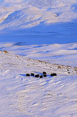 Muskox (Ovibos moschatus) group in landscape, Kangerlussuaq, Sondre, Stromfjord, Greenland  -  Jan Vermeer