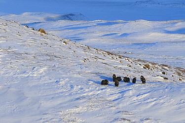 Muskox (Ovibos moschatus) group in snowy field, Kangerlussuaq, Sondre, Stromfjord, Greenland  -  Jan Vermeer