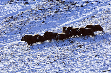Muskox (Ovibos moschatus) group running through the snow, Kangerlussuaq, Sondre, Stromfjord, Greenland  -  Jan Vermeer