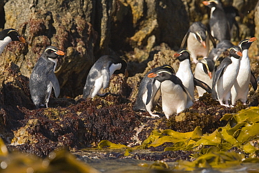 Snares Crested Penguin (Eudyptes robustus) group on rocks, Snares Island, New Zealand  -  Otto Plantema/ Buiten-beeld