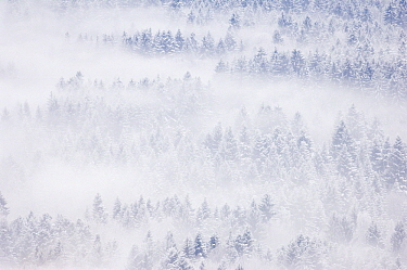 Pine forest, Bernex, Haute Savoie, France  -  Andre Gilden/ NIS