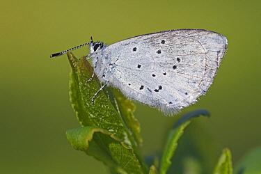 Holly Blue (Celastrina argiolus) butterfly, Vriezenveen, Twente, Overijssel, Netherlands  -  Karin Rothman/ NiS