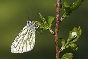 Green-veined White (Pieris napi) butterfly, Vriezenveen, Twente, Overijssel, Netherlands  -  Karin Rothman/ NiS