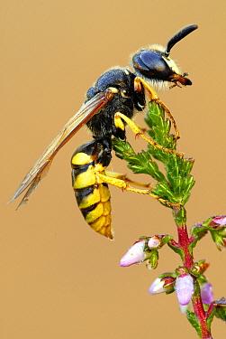 European Beewolf (Philanthus triangulum) wasp on Heather (Calluna vulgaris), Military Domain Groot Schietveld, Campine, Antwerp, Flanders, Belgium  -  Danny Laps/ NiS