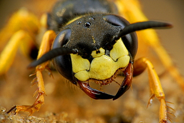 European Beewolf (Philanthus triangulum), Groot Schietveld, Campine, Antwerp, Flanders, Belgium  -  Danny Laps/ NiS