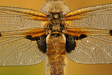Four-spotted Chaser (Libellula quadrimaculata) dragonfly covered with dew drops, Military Domain Groot Schietveld, Campine, Antwerp, Flanders, Belgium  -  Danny Laps/ NiS