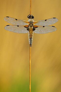 Four-spotted Chaser (Libellula quadrimaculata) dragonfly, Groot Schietveld, Campine, Antwerp, Flanders, Belgium  -  Danny Laps/ NiS