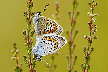 Silver-studded Blue (Plebejus argus) butterfly pair mating, Military Domain Groot Schietveld, Campine, Antwerp, Flanders, Belgium  -  Danny Laps/ NiS