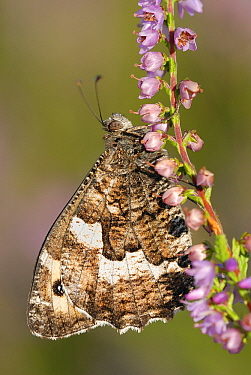 Grayling (Hipparchia semele) butterfly on Heather (Calluna vulgaris), Military Domain Groot Schietveld, Campine, Antwerp, Flanders, Belgium  -  Danny Laps/ NiS